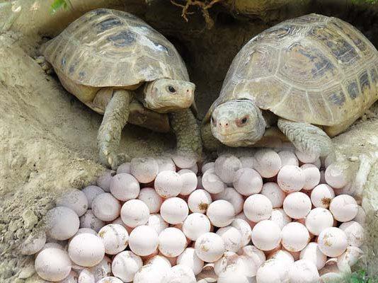 ৩৫টি ডিম দিয়েছে বিলুপ্ত প্রজাতির কচ্ছপ 'বাটাগুর বাসকা'