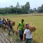 সুন্দরগঞ্জে ধান কেটে কৃষকের ঘরে তুলে দিলো ছাত্রলীগ