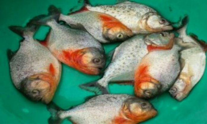 পিরানহা মাছ রূপচাঁদা হিসাবে বিক্রি হচ্ছে