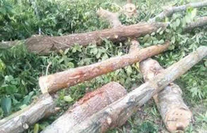 পটুয়াখালীর মহিপুর রেঞ্জের বন উজাড় করছে বনদস্যুরা